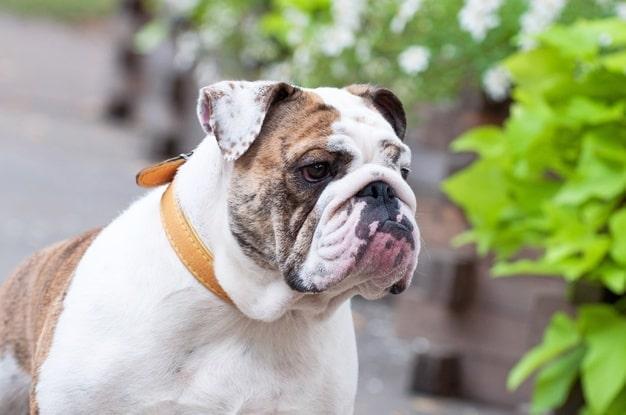 Tipos de Bulldog, el Bulldog Inglés