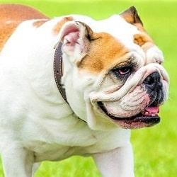Bulldog Inglés Animaleros