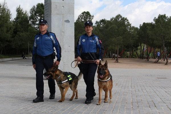 Pastor Alemán como perro policía