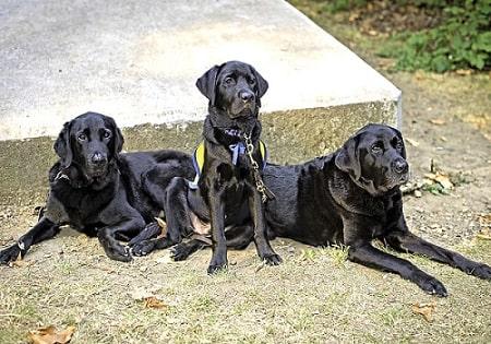 Perro de asistencia y rescatista labrador retriever
