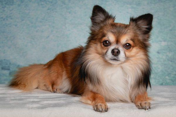 Razas de perros Chichuahua