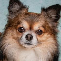 Raza de perro Chihuahua Animaleros