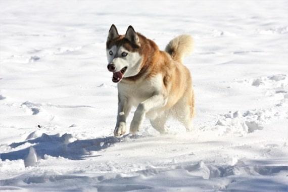Carácter y comportamiento del Husky Siberiano