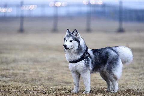 Educación del Husky Siberiano