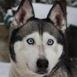 Husky Siberiano en Animaleros