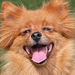 Rada canina pomerania en Animaleros