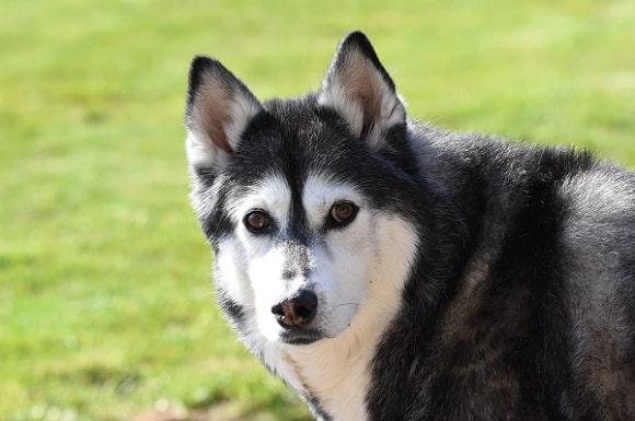 Historia del Husky Siberiano