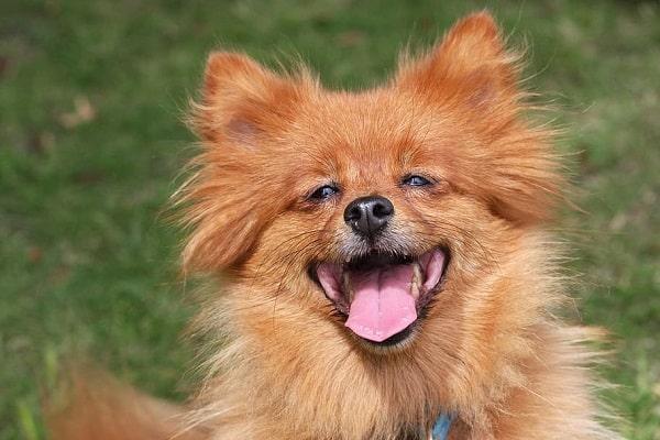 Pomerania raza canina